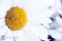 Daisy ~ Seattle, Washington