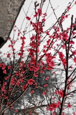 Cherry Blossoms ~ Zhouzhang, China